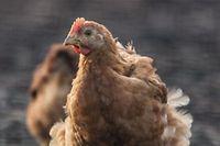 In Gosseldingen sorgen Hühner derzeit für viel Diskussionen.