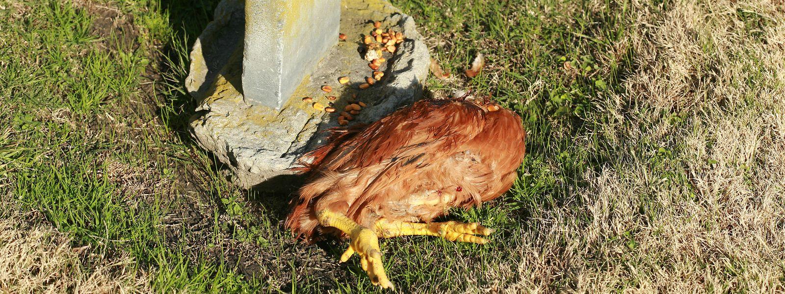 Spaziergänger fanden - ähnlich wie auf diesem Symbolbild - aufgebahrte Hühner.