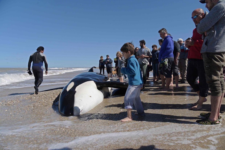Helfer stehen um einen gestrandeten Orca in Mar Chiquita, Argentinien.