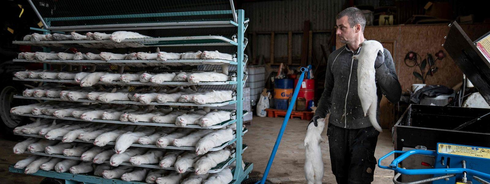 Die dänische Regierung hatte Anfang November mitgeteilt, dass alle Pelztiere im Land getötet werden sollen, weil das Coronavirus in den Tieren mutiert sei.