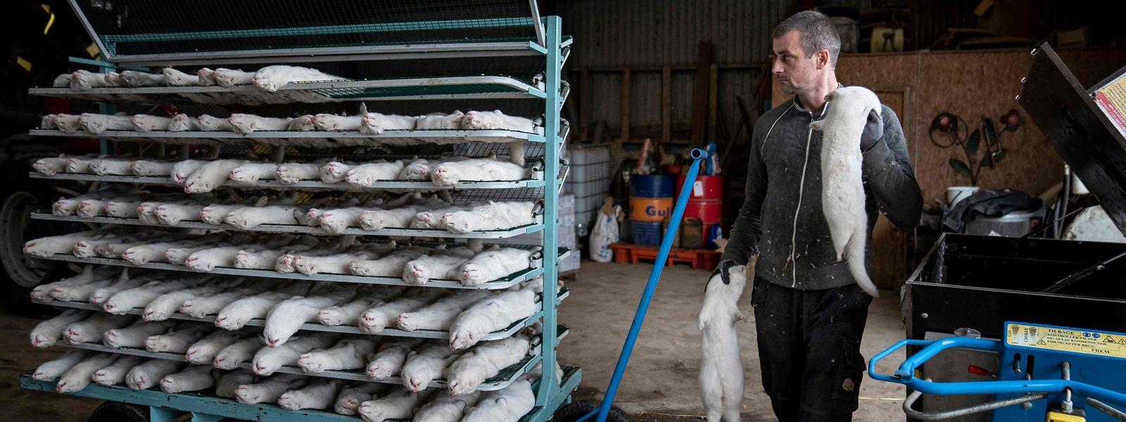 Diese Nerze wurden getötet. Die dänische Regierung hatte Anfang November mitgeteilt, dass alle Pelztiere im Land getötet werden sollen, weil das Coronavirus in den Tieren mutiert sei und sich bereits auf den Menschen übertragen habe.