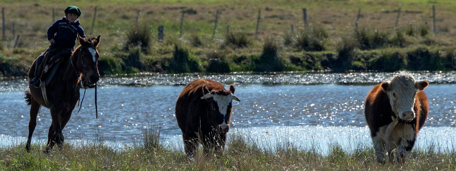 Uruguay, ein extrem dünn besiedeltes Land: Ein junger Cowboy auf einer Weide nordöstlich von Montevideo.