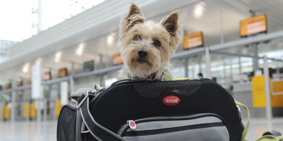 Kleine Tiere gelten auf Flugreisen in der Regel als Handgepäck. Die Airlines geben individuelle Grenzen für die Maße der Transportbox sowie das Gewicht des Vierbeiners vor.