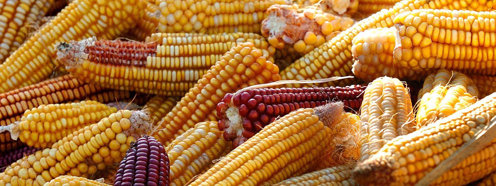 Peking belegt möglicherweise auch US-Mais mit Strafzöllen.