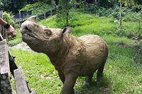 HANDOUT - 19.06.2015, Malaysia, Borneo: Das Sumatra-Nashorn Tam, das das letzte männliche Sumatra-Nashorn weltweit überhaupt war, steht in einem Reservat auf der Insel Borneo (undatierte Aufnahme). In der Vergangenheit war versucht worden, Tam mit zwei weiblichen Tieren zusammenzubringen, damit es Nachwuchs gibt. Das gelang aber nicht. Die beiden Rhino-Damen sind inzwischen schon länger tot und auch Tam ist jetzt gestorben. Das etwa 35 Jahre alte Tier starb am Montag (27.05.2019) nach längerem Siechtum. Foto: Borneo Rhino Alliance/dpa - ACHTUNG: Nur zur redaktionellen Verwendung im Zusammenhang mit der aktuellen Berichterstattung und nur mit vollständiger Nennung des vorstehenden Credits +++ dpa-Bildfunk +++
