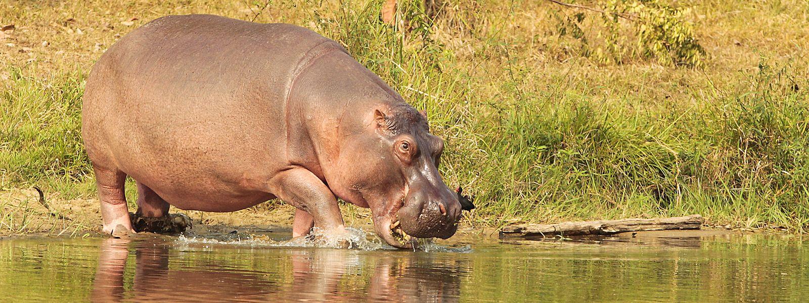 Laut Experten könnte die Zahl der frei lebenden Flusspferde in Kolumbien in den kommenden Jahren auf bis zu 400 Exemplare anwachsen.