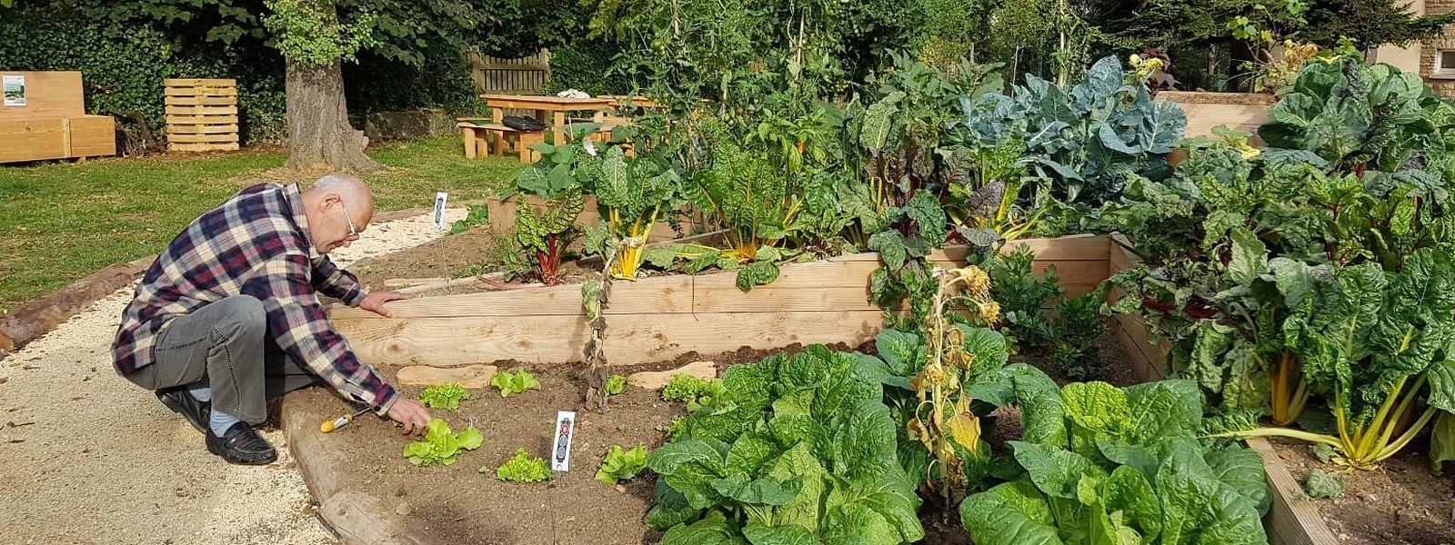 Die Ampel bei den Salatköpfen zeigt rot, noch muss sich Aloyse Heinen im Garten beim CIPA mit der Ernte gedulden.