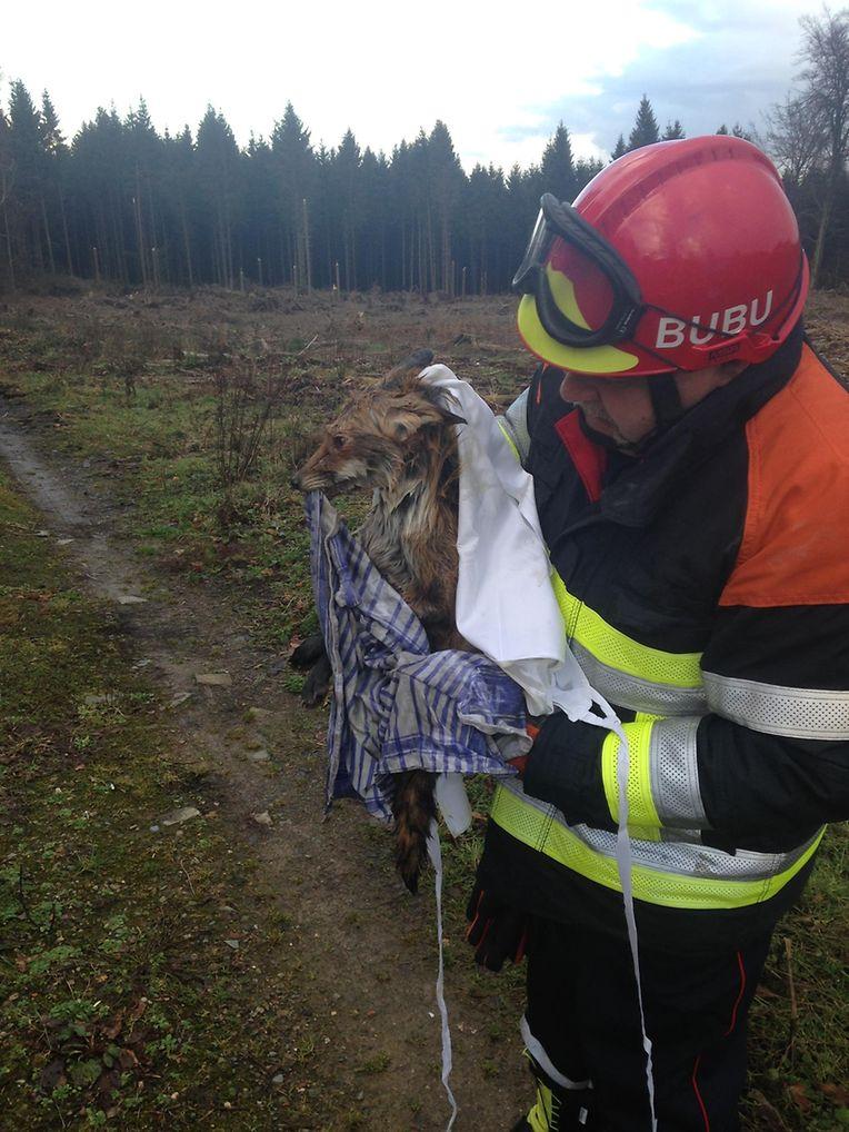 Frisch gebadet wurde der Fuchs wieder in Freiheit entlassen.
