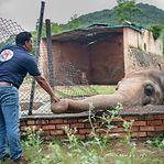 """""""Elefante mais solitário do mundo"""" será libertado do zoo para uma nova vida"""