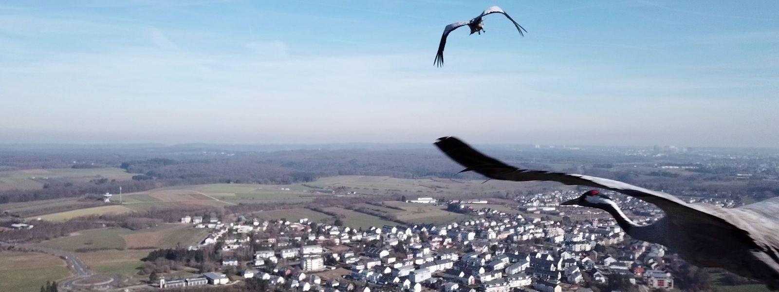 Les grues cendrées font 2 à 2,40 mètres d'envergure et peuvent voler à près de 100 km/h.