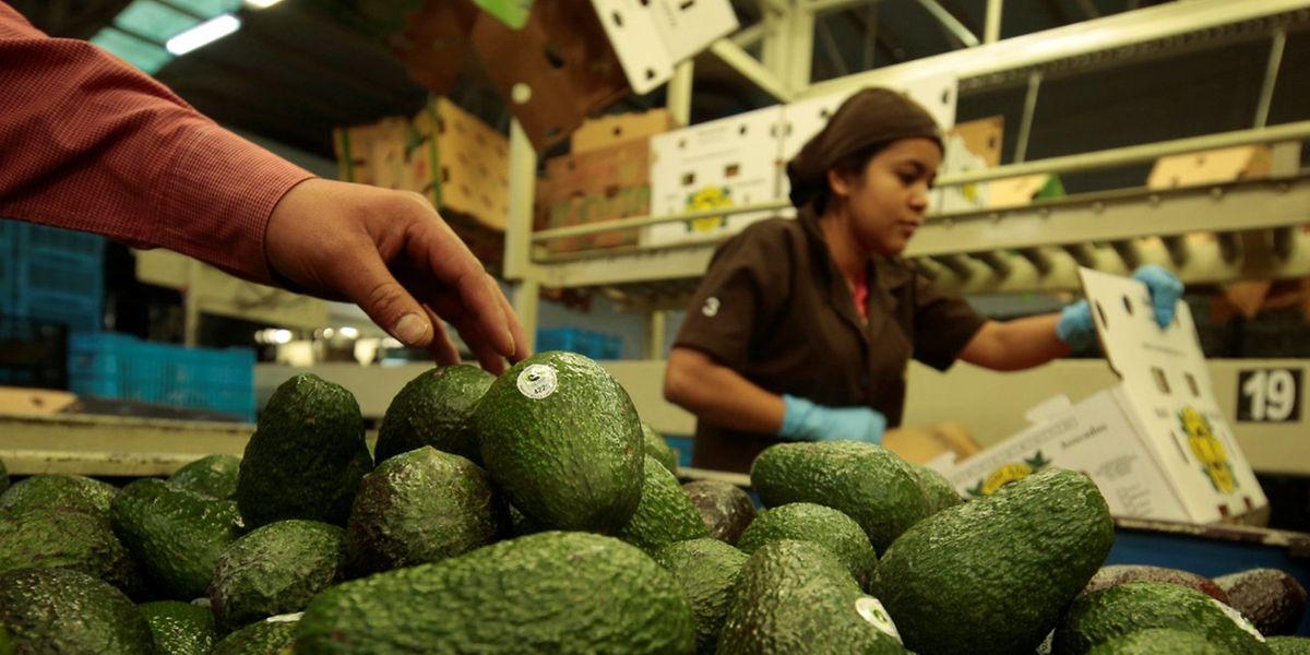 Mexikanische Avocado-Früchte werden in Tancitaro verpackt.