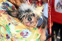 Scamp The Tramp is seen on stage after being announced the winner of the World's Ugliest Dog Competition in Petaluma, California on June 21, 2019. (Photo by JOSH EDELSON / AFP)