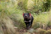 "This undated handout photo released by Aussie Ark on October 1, 2020 shows a Tasmanian devil walking in the wild in mainland Australia. - Tasmanian devils have been released into the wild on Australia's mainland 3,000 years after the feisty marsupials went extinct there, in what conservationists described on October 5 as a ""historic"" step. (Photo by Handout / Aussie Ark / AFP) / TO GO WITH AFP STORY Australia-environment-animal RESTRICTED TO EDITORIAL USE - MANDATORY CREDIT ""AFP PHOTO / Aussie Ark"" - NO MARKETING NO ADVERTISING CAMPAIGNS - DISTRIBUTED AS A SERVICE TO CLIENTS --- NO ARCHIVES ---"