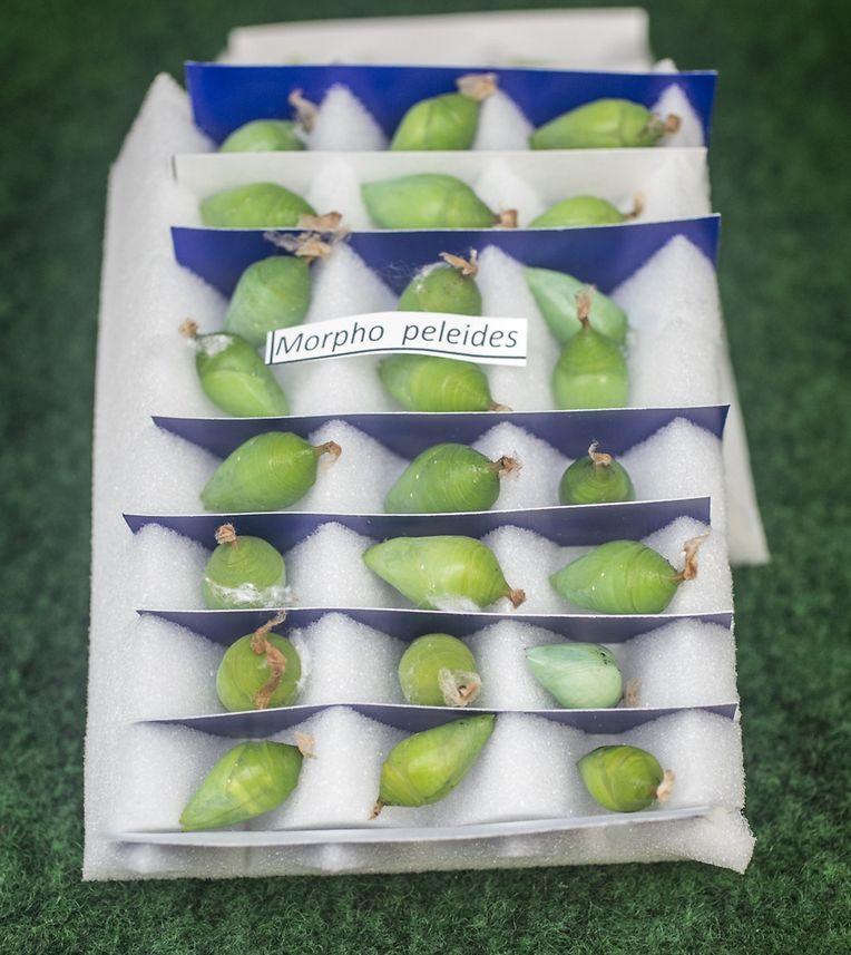 Die Raupen im Schmetterlingsgarten stammen hauptsächlich aus zertifizierten Zuchtstation in Costa Rica und den Philippinen.
