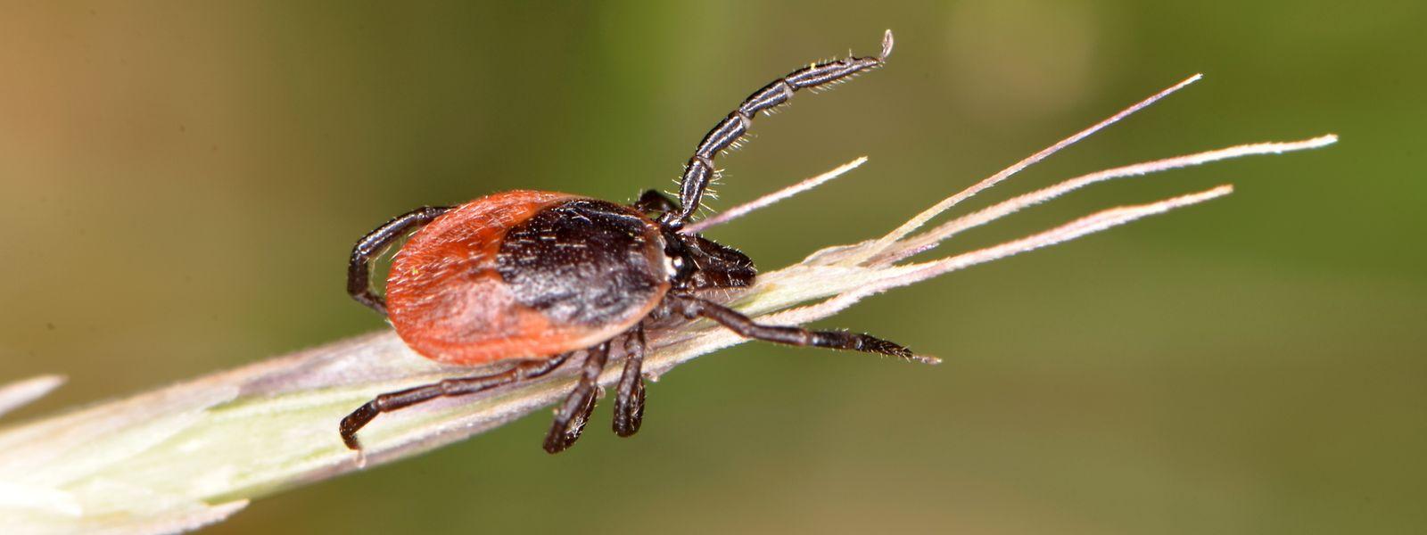 Mithilfe ihrer kleinen Widerhaken verankern die Zecken sich in der Haut.