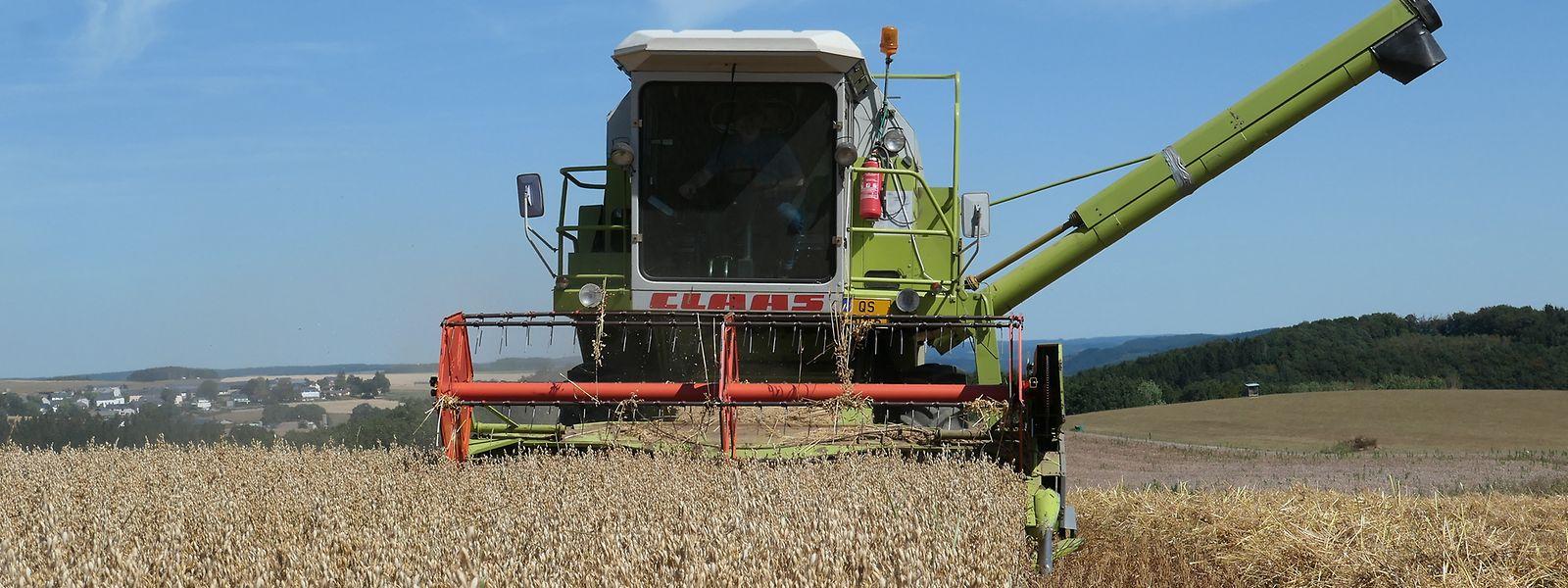 Im Ösling, wie hier in Kalborn, läuft die Getreideernte dieser Tage noch so mancherorts auf vollen Touren. Im Gutland sind die Felder dagegen schon weitestgehend abgeerntet.