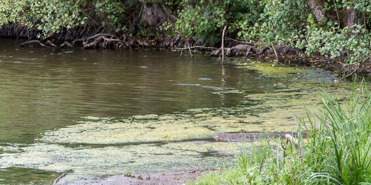 Dans la Moselle, les cyanobactéries se développent surtout aux endroits où l'eau stagne.