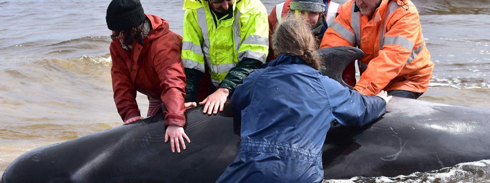 Retter in Macquarie Harbour helfen einem Wal zurück in tieferes Wasser.