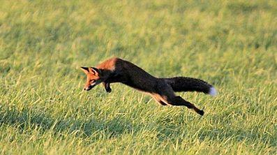Sinn oder Unsinn? Das Ende der Fuchsjagd ist jedenfalls beschlossene Sache.