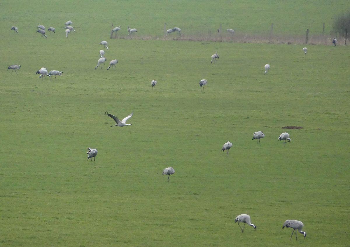 In Roeser machten die Tiere auf dem Weg nach Norden dieser Tage eine Rast.