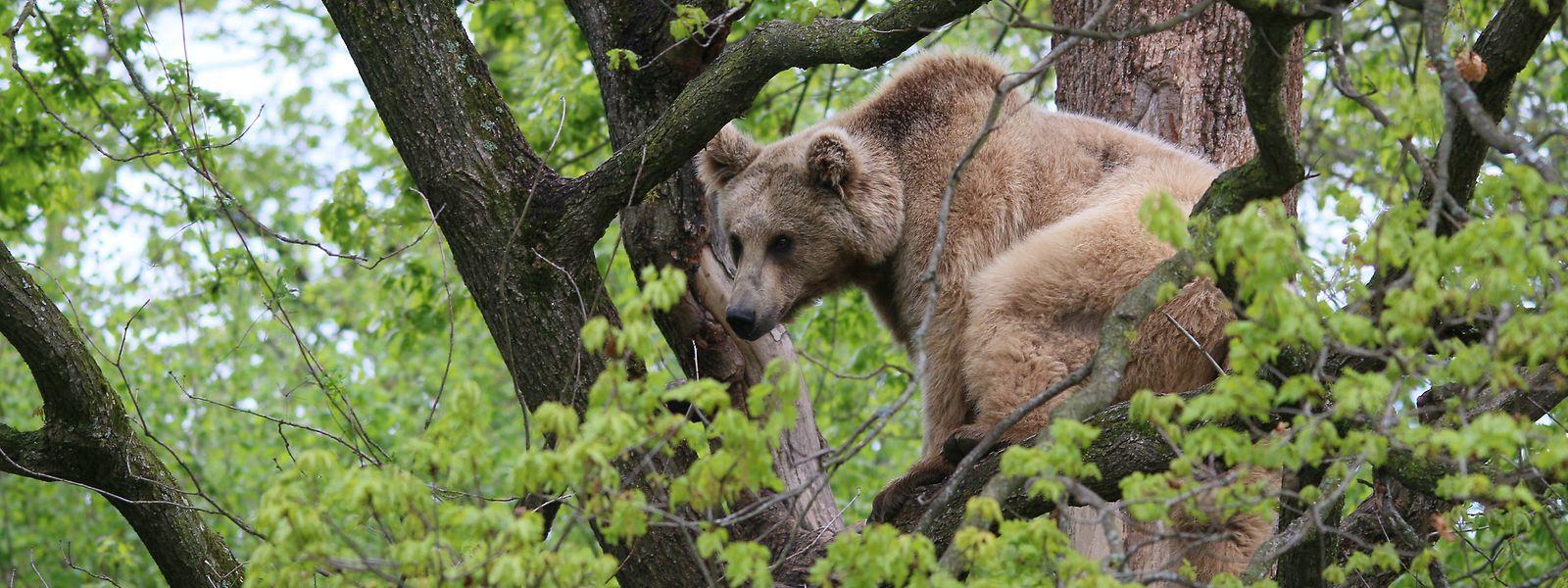 Nicht nur Bären können Besucher hier sehen: Auch Wölfe und sogar eine kleine Herde Wisente sind in den weitläufigen Waldgebieten in Rumänien anzutreffen.