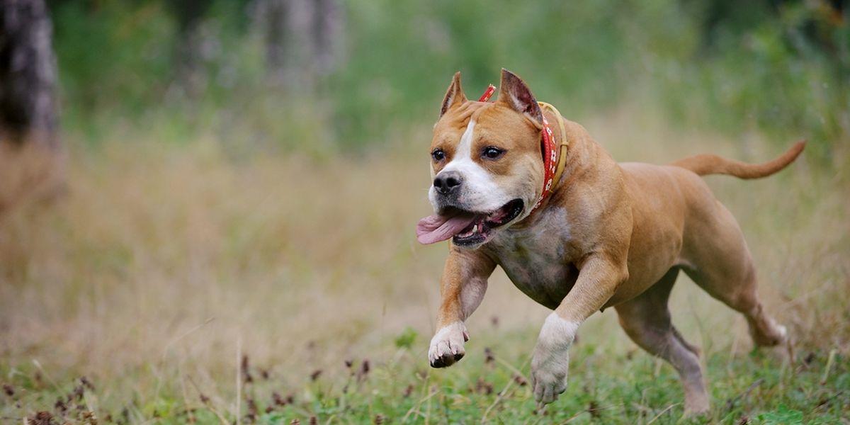 """Der Besitzer eines """"American Staffordshire"""" rebellierte, als sein Hund beschlagnahmt werden sollte."""