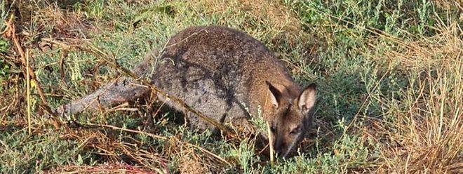 Jumper, das flüchtige Känguru.