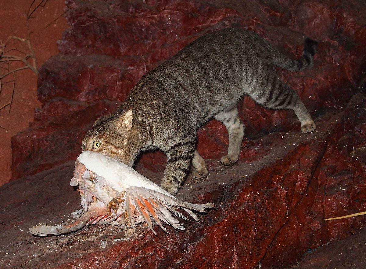Eine verwilderte Katze in Australien hat einen Vogel erbeutet.