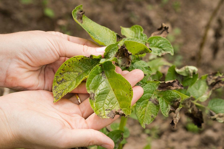 Der Pilz Phytophthora infestans ist der Auslöser für die sogenannte Kartoffelfäule. Er kann auch Tomatenpflanzen befallen.