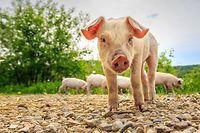 Glückliche Schweine auf dem Biohof Kass-Haff.