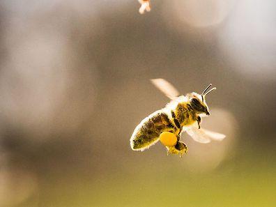 Bienen sind gefährdet, unter anderem durch Pestizide. Die EU will das ändern.