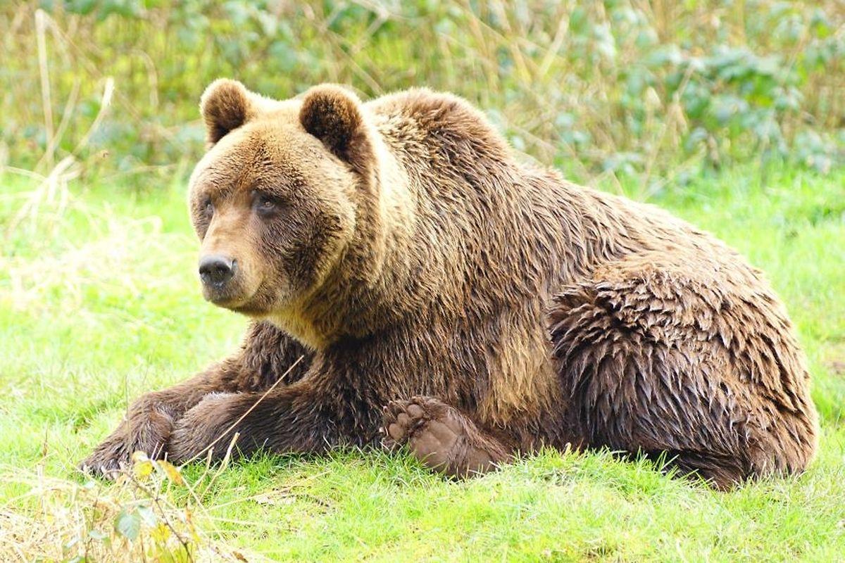 Este urso pode ser visto no Eifelpark, a poucos quilómetros do Luxemburgo