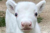HANDOUT - 15.06.2020, Rheinland-Pfalz, Niederhausen: Das weiße Rentierbaby Nala steht auf einer Rasenfläche der Rentieralm. Das Tier wurde am 09.06.2020 geboren. Weiße Rentiere sind extrem selten. Foto: Rentieralm/dpa - ACHTUNG: Nur zur redaktionellen Verwendung im Zusammenhang mit der aktuellen Berichterstattung und nur mit vollständiger Nennung des vorstehenden Credits +++ dpa-Bildfunk +++