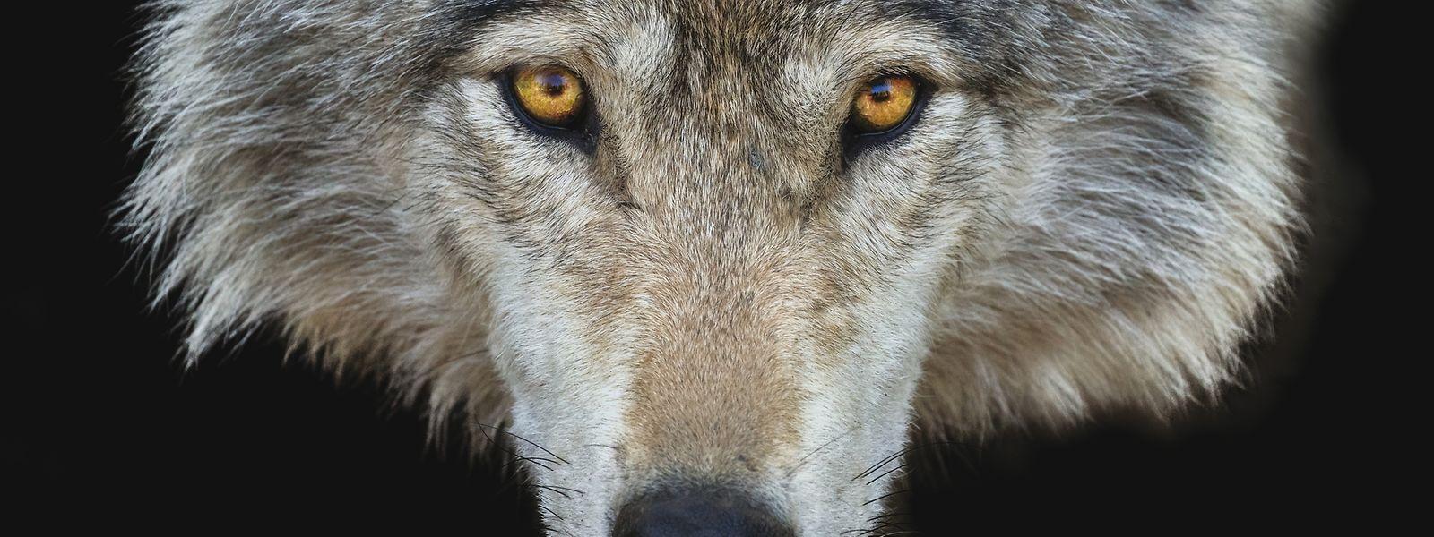 C'est la troisième fois en deux ans que des preuves d'existence du loup sur le sol luxembourgeois sont trouvées.