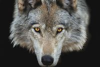 Timber Wolf extreme closeup on black background, Canada