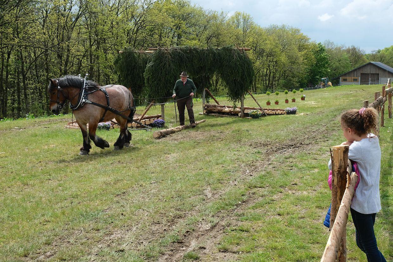Ardennerpferde standen auch dieses Jahr wieder  im Mittelpunkt der Veranstaltung