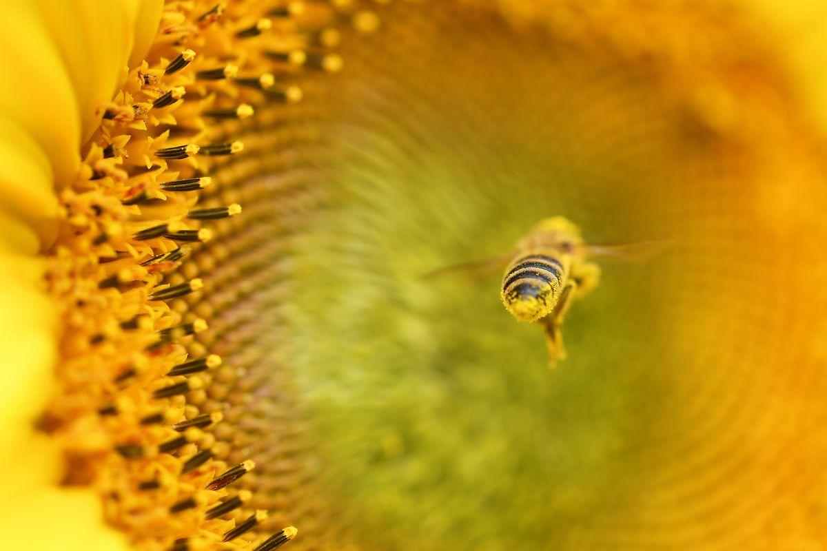 Bienen gehören zu den wichtigsten Bestäubern von Pflanzen.