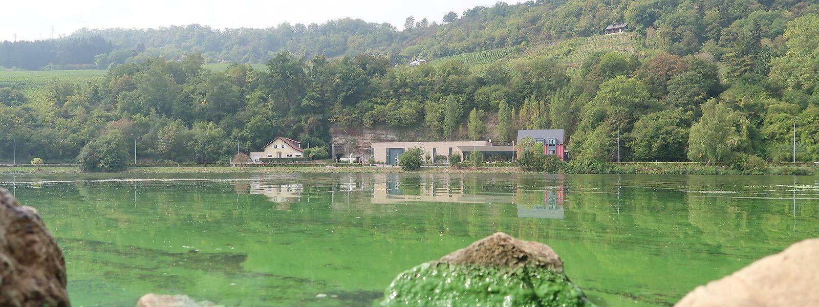 Am Moselufer an der Deisermillen bei Machtum waren  die Blaualgen im vergangenen Jahr gut sichtbar.