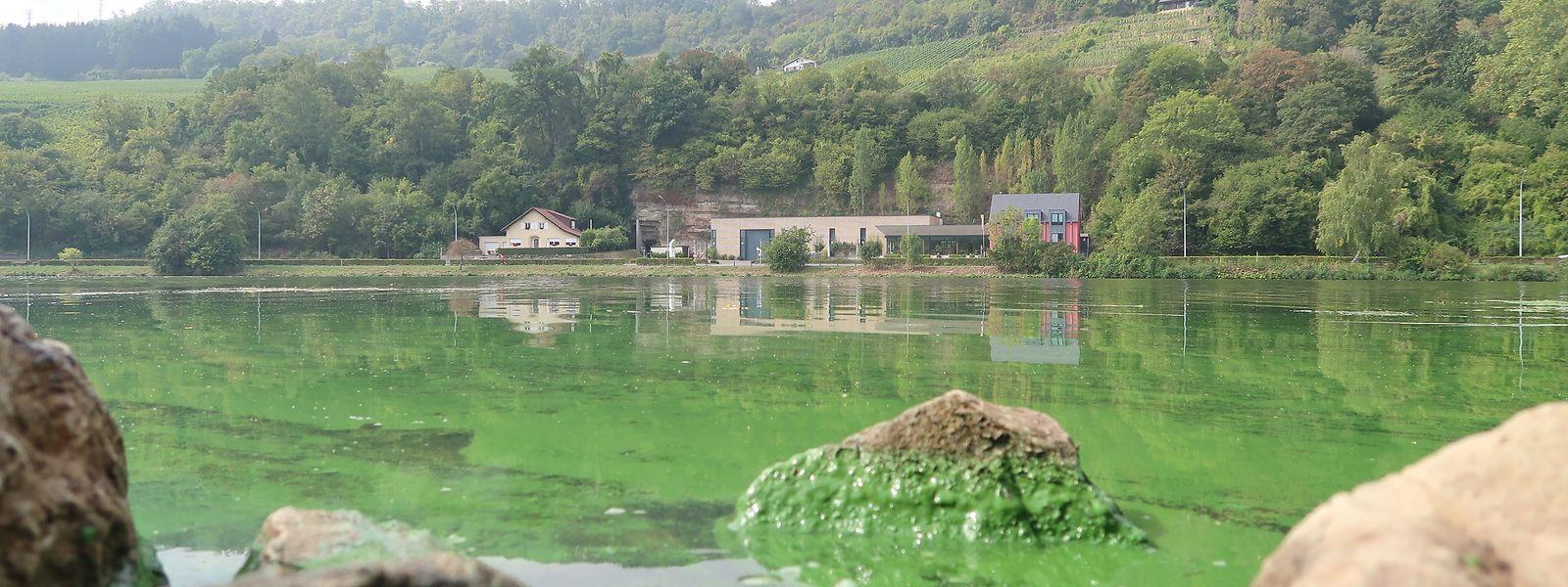 Sur les rives de la Moselle à Deisermillen près de Machtum, les algues bleues-vertes étaient bien visibles l'an dernier.