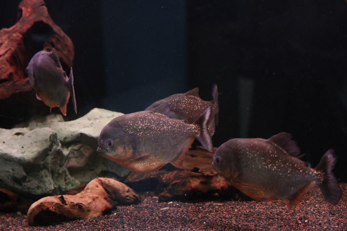 Piranhas at the Wasserbillig aquarium