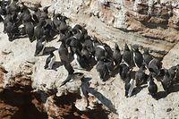 """ARCHIV - 09.06.2008, Schleswig-Holstein, Helgoland: Eine Trottellumme setzt am so genannten """"Lummenfelsen"""" auf Helgoland zu einem Sturzflug ins Meer an. Der Lummensprung lockt wieder Vogelfreunde auf Deutschlands einzige Hochseeinsel. Dort stürzen sich die Küken der Trottellumme von dem bis zu 40 Meter hohen Vogelfelsen in die Nordsee. Foto: Christian Hager/dpa +++ dpa-Bildfunk +++"""