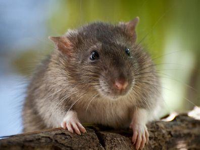 Ratte, Nagetier (Foto: Shutterstock)
