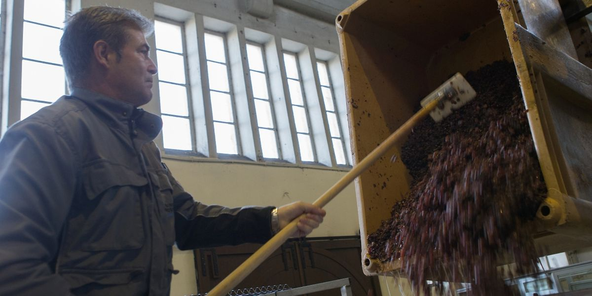 In der Kellerei werden die Gewürztraminer-Trauben in die Presse befördert.