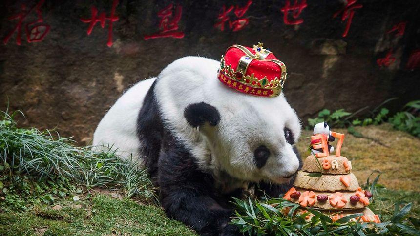 L'animal était une star en Chine, où chacun de ses anniversaires était célébré avec faste devant les caméras. Un copieux gâteau adapté à sa taille lui était alors généralement offert.