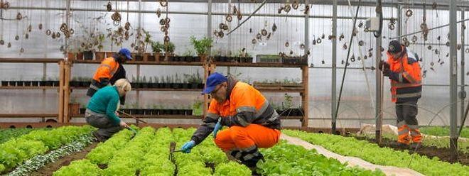 Gemüse aus dem Escher Geméisguart wird in den Kantinen der Escher Maison relais zubereitet. Der Garten, der von der Beschäftigungsinitiative CIGL betrieben wird, gehört zu den Vorzeigeprojekten der Stadt Esch.