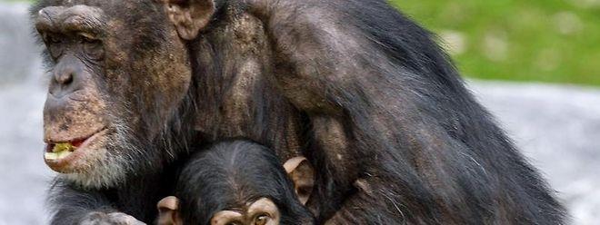 Eine Schimpansin mit ihrem Baby lässt sich Früchte im Safarpark Beekse Bergen in Hilvarenbeek (Niederlande) schmecken.