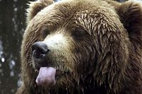 An Alaska brown sticks out his tongue at  a German animal park in the northern town of Hanstedt-Nindorf May 7, 2001. The animal park in the Lueneburger Heide region presents hundreds of wild living animal to visitors.    REUTERS/Fabrizio Bensch REUTERS