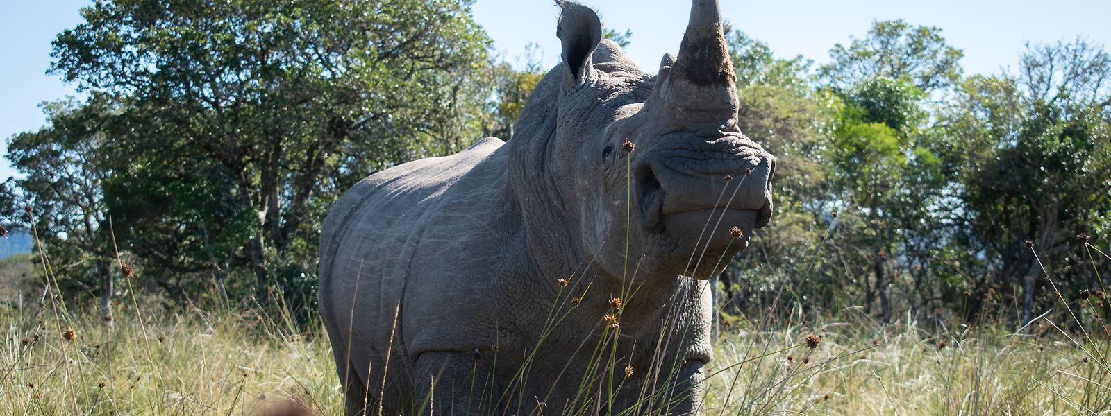 """Nashorn """"Igor"""" im Buffalo Kloof Game Reserve vor der Behandlung. Im Kampf gegen die chronische Nashorn-Wilderei setzen Tierschützer nun auf leicht radioaktive Substanzen."""