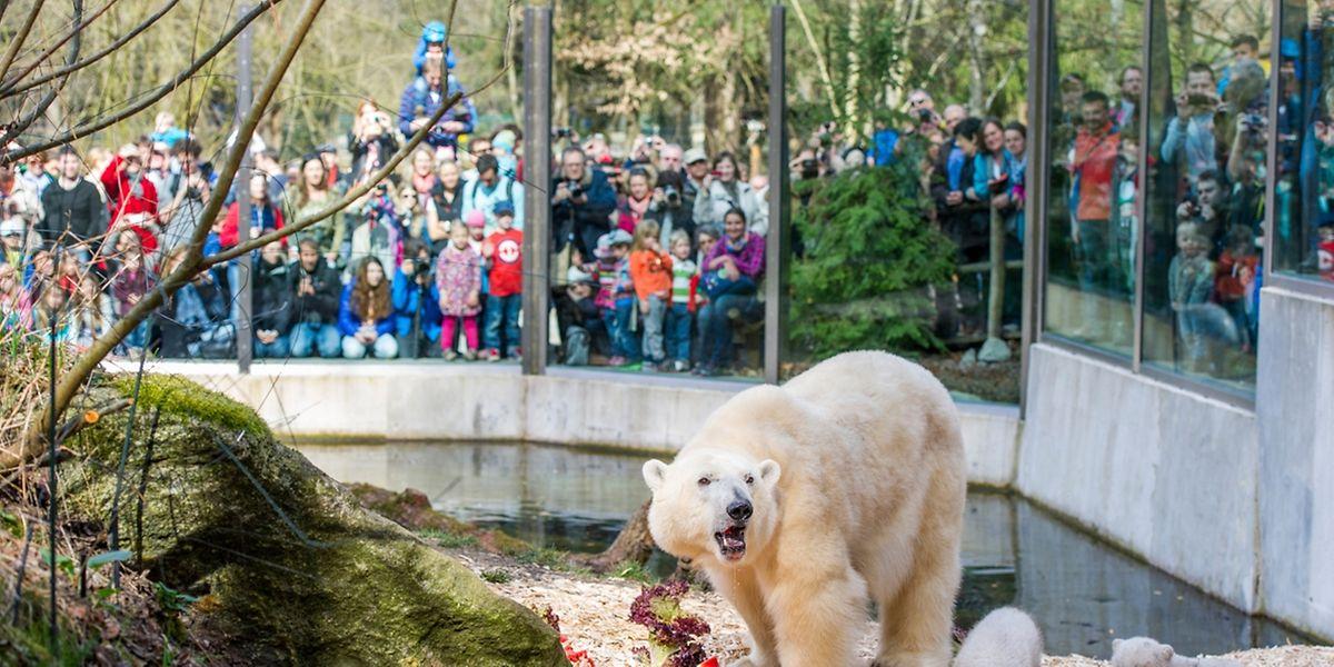 Eisbären haben im Zoogehege häufig nicht genug Platz. In der Wildnis bringen diese Tiere täglich bis zu 50 Kilometer hinter sich.