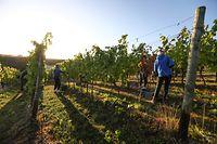 Lokales,Beginn der Traubenlese an der Mosel, Domaine Henri Ruppert,Schengen. Foto: Gerry Huberty/Luxemburger Wort